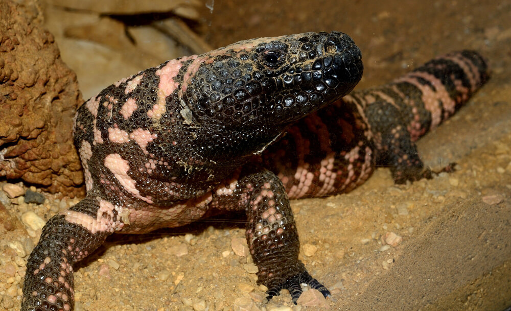 Gila monster lizards harmful to humans