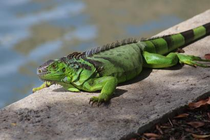 How Lizards Can Be Harmful To Humans