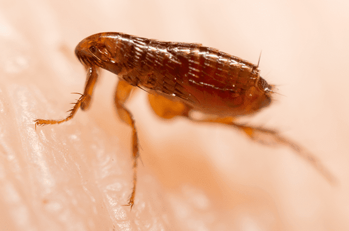 Get rid of Fleas in home